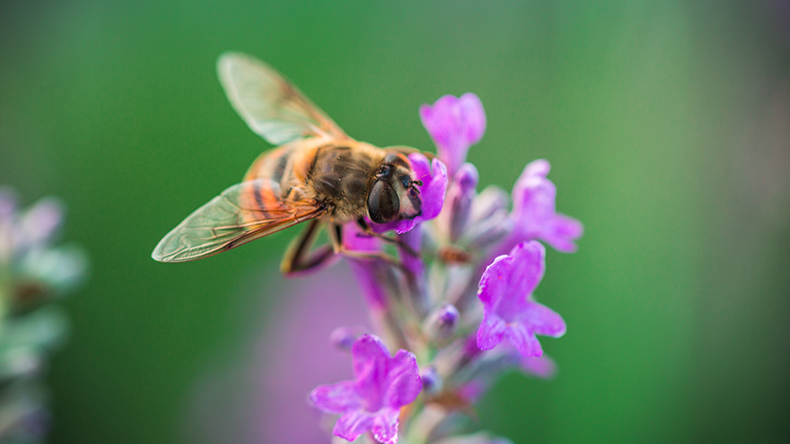 A bee on lavender Pic: Rex/Shutterstock
