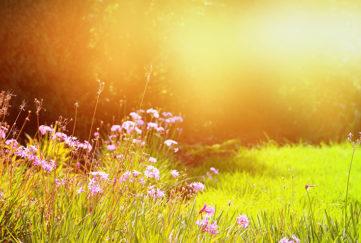 Pink wild flowers, green grass and hazy golden light