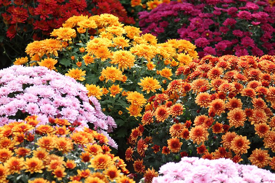 Chrysanthemum add instant autumn colour Pic: Rex/Shutterstock