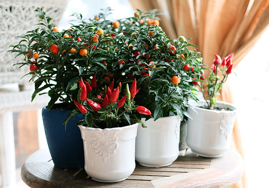 Tomato and pepper plants in white pots growing indoors