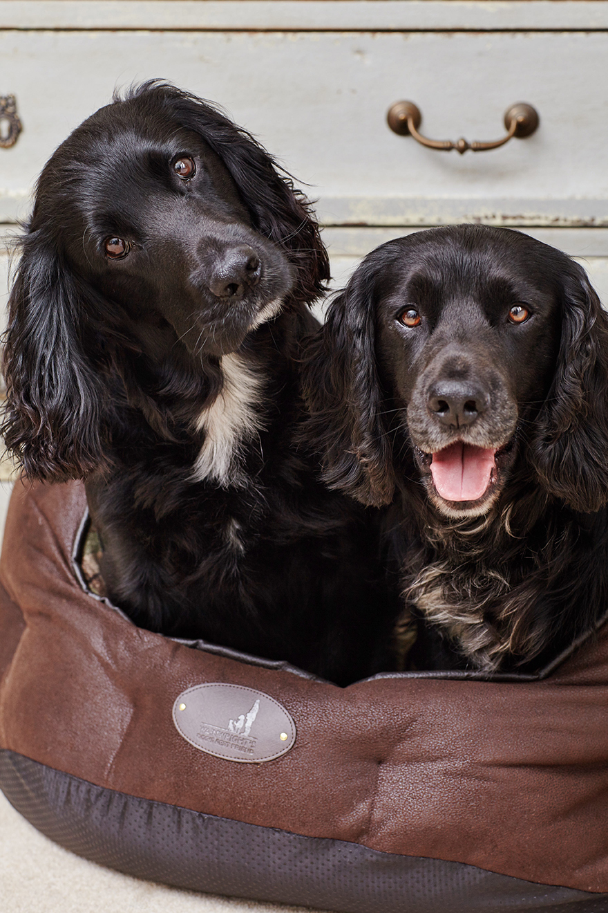 2 chocolate coloured dogs