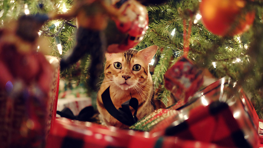 Cute Bengal Cat playing under the Christmas tree