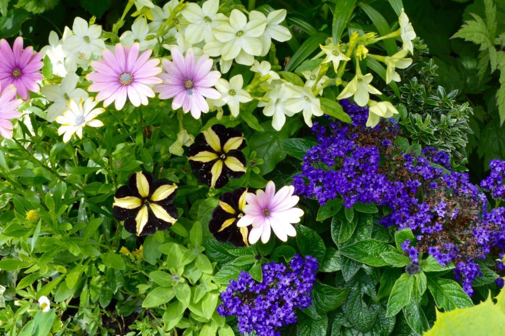 Summer bedding with lilies, cherry pie & petunias 2