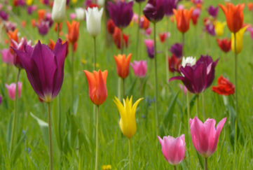 Tulips in long grass