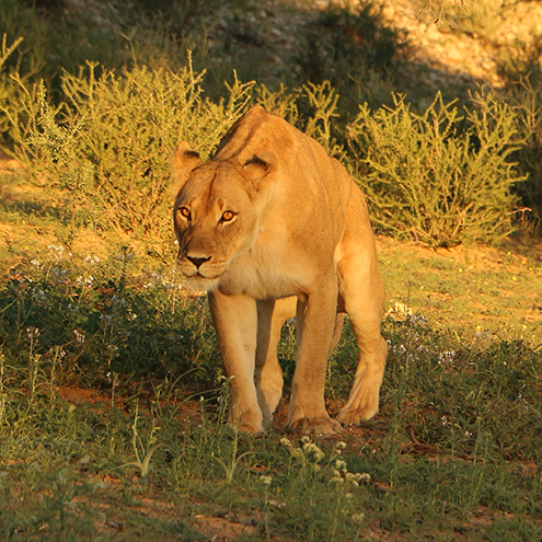 A lioness on the prowl