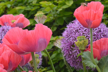 Poppies in the Anneka Rice Clour Cutting Garden Chelsea Flower Show