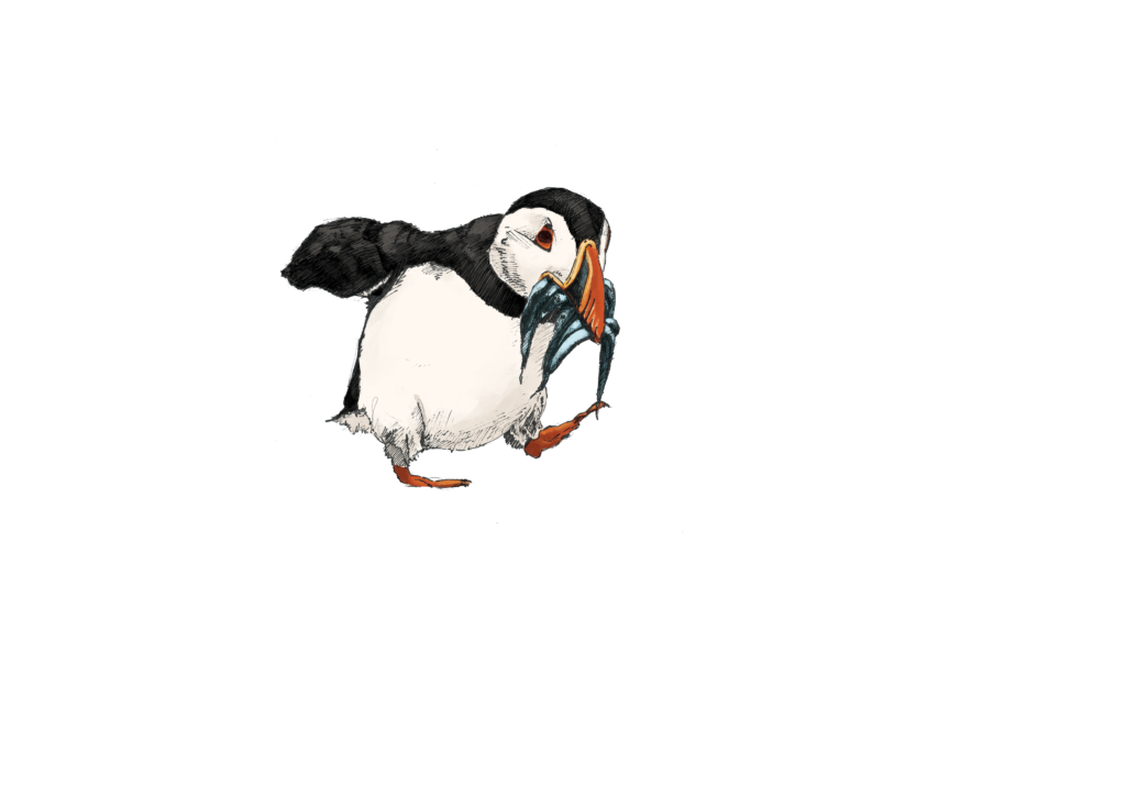 Illustration of a puffin