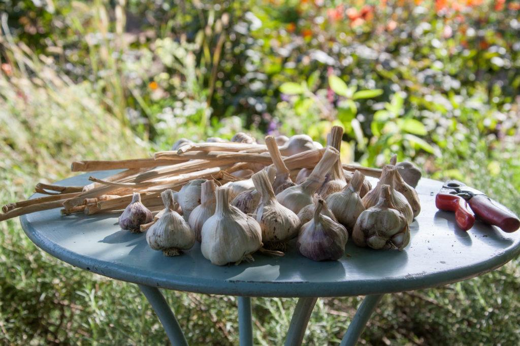garlic bulbs on garden table