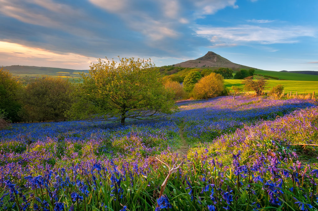 Bluebells under Roseberry Topping Pic: Istockphoto