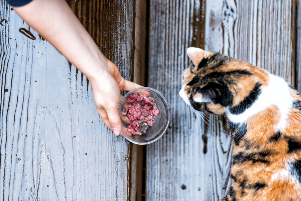 Calico homeless stray cat curious exploring house backyard by wooden deck, garden, wet wood territory, smelling scent sniffing woman hand girl feeding bowl of meat food