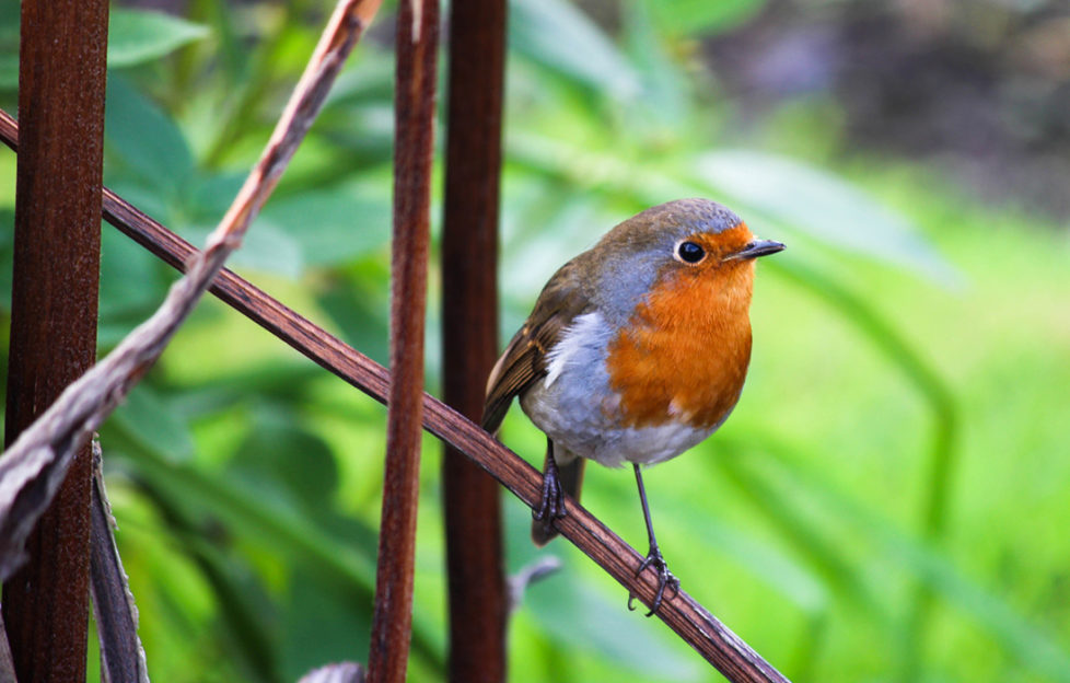 A robin in a winter garden Pic: Istockphoto