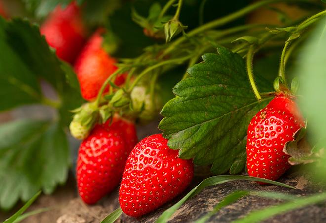 Strawberries on plant Pic: Istockphoto