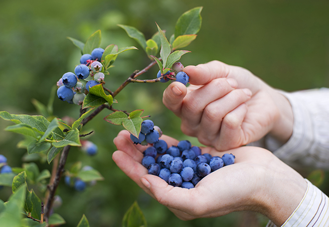 Woman picking ripe blueberries Pic: Istockphoto