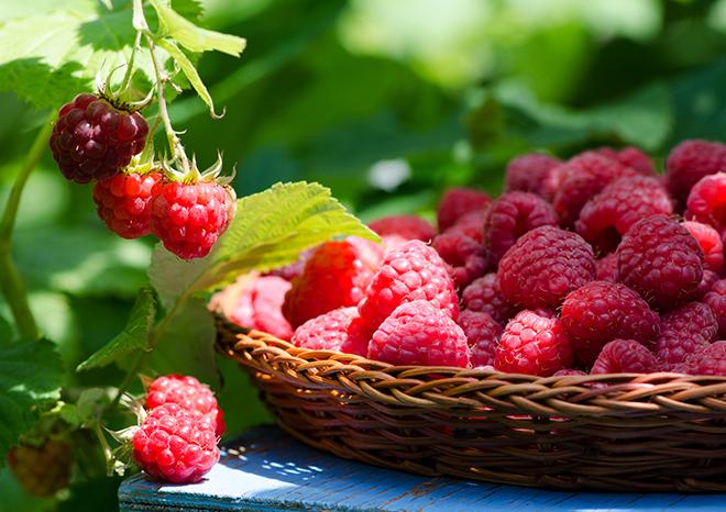 Raspberries in a wicker plate Pic: Istockphoto
