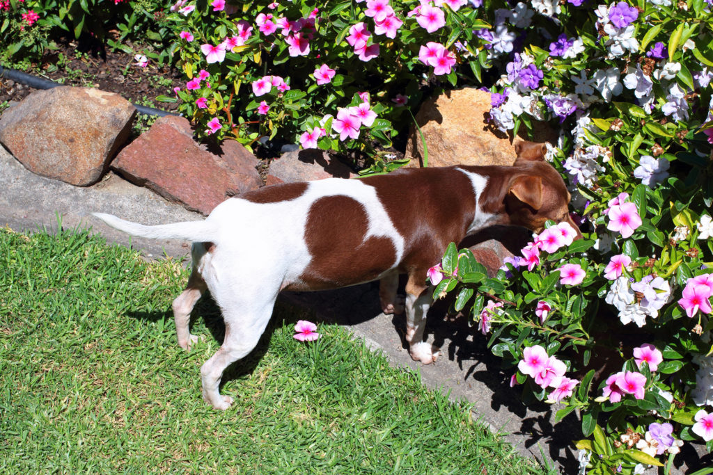 Dog smelling the flowers in a garden