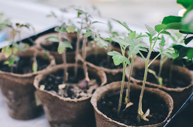 Tomato seedlings Pic: Istockphoto