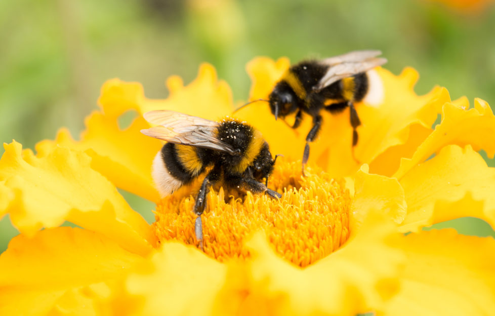 2 bumblebees on bright yellow flower