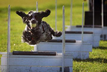 Cocker spaniel leaping hurdles in flyball competition