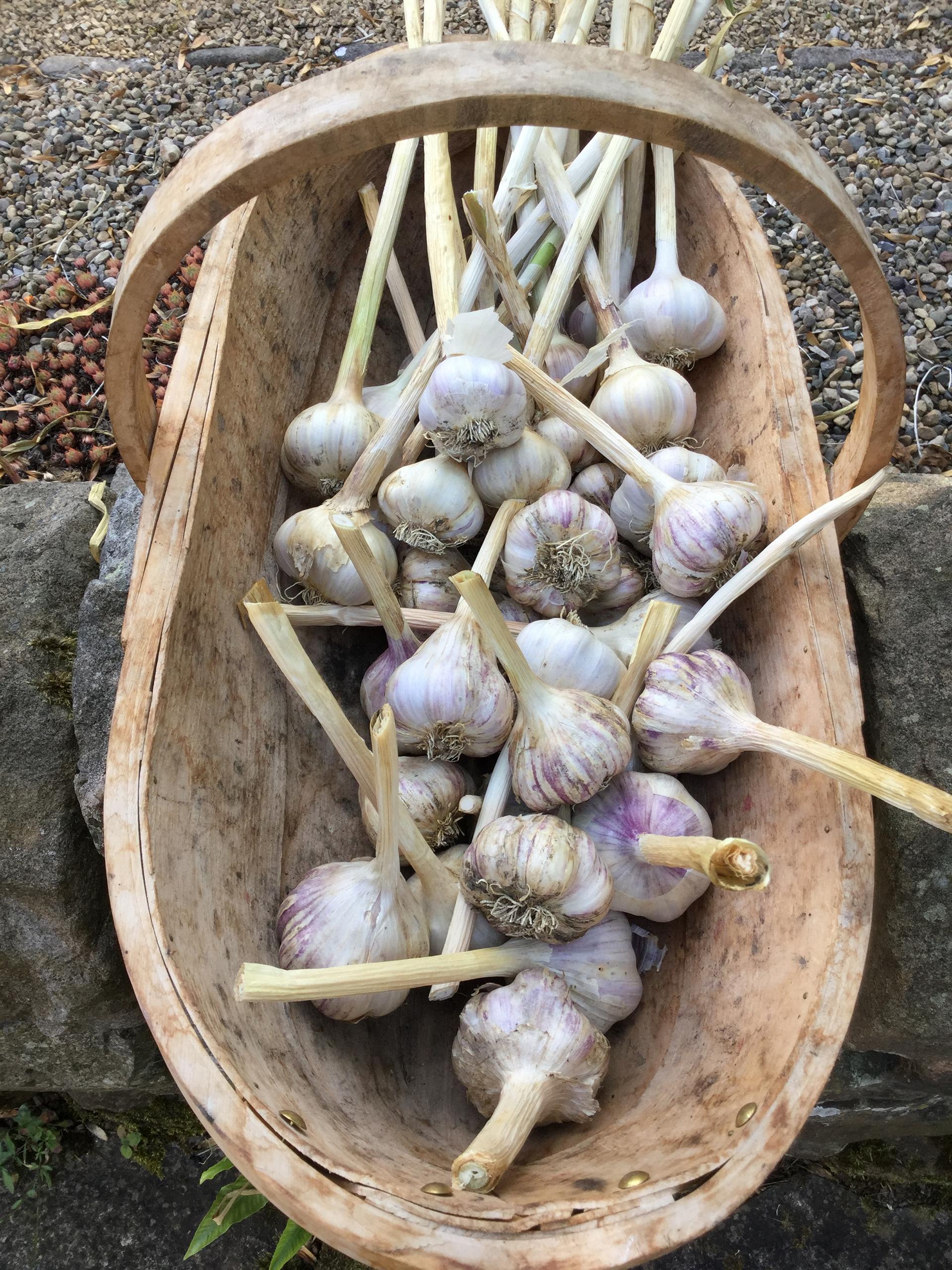 Garlic in a trug