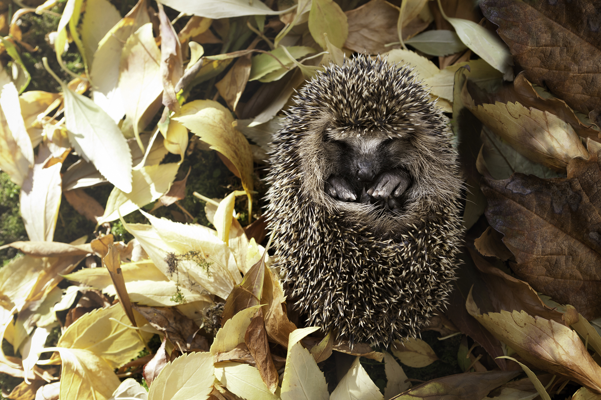 Baby Hedgehog Surrounded by Autumn Leaves