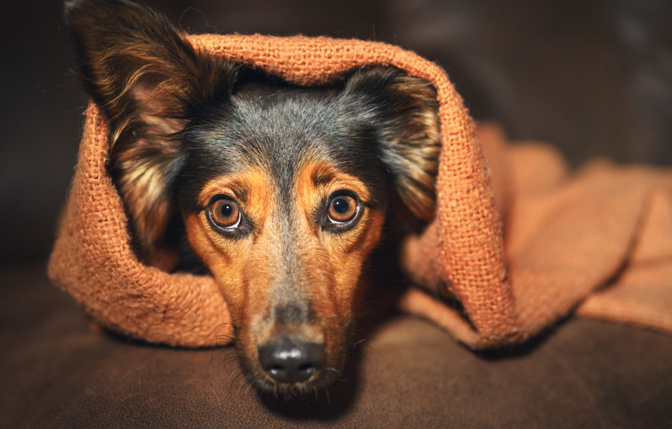 Scared looking small black and tan dogpeeping out of cosy blanket