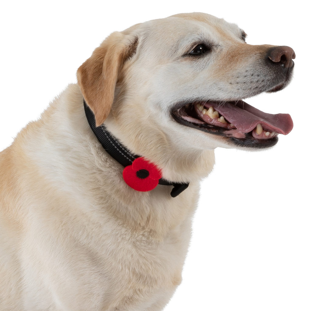 Golden labrador dog with poppy on collar