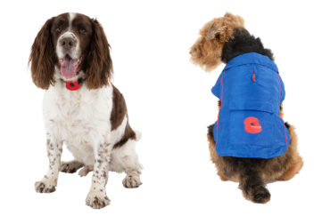 Liver and white springer spaniel with poppy on collar and Airedale terrier in blue pack-a-mac with poppy motif