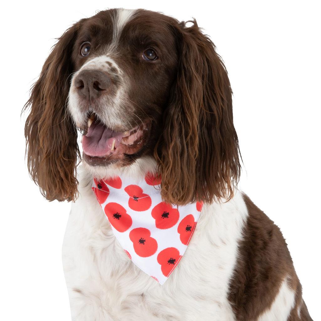 Liver and white springer spaniel dog wearing poppy patterned bandana