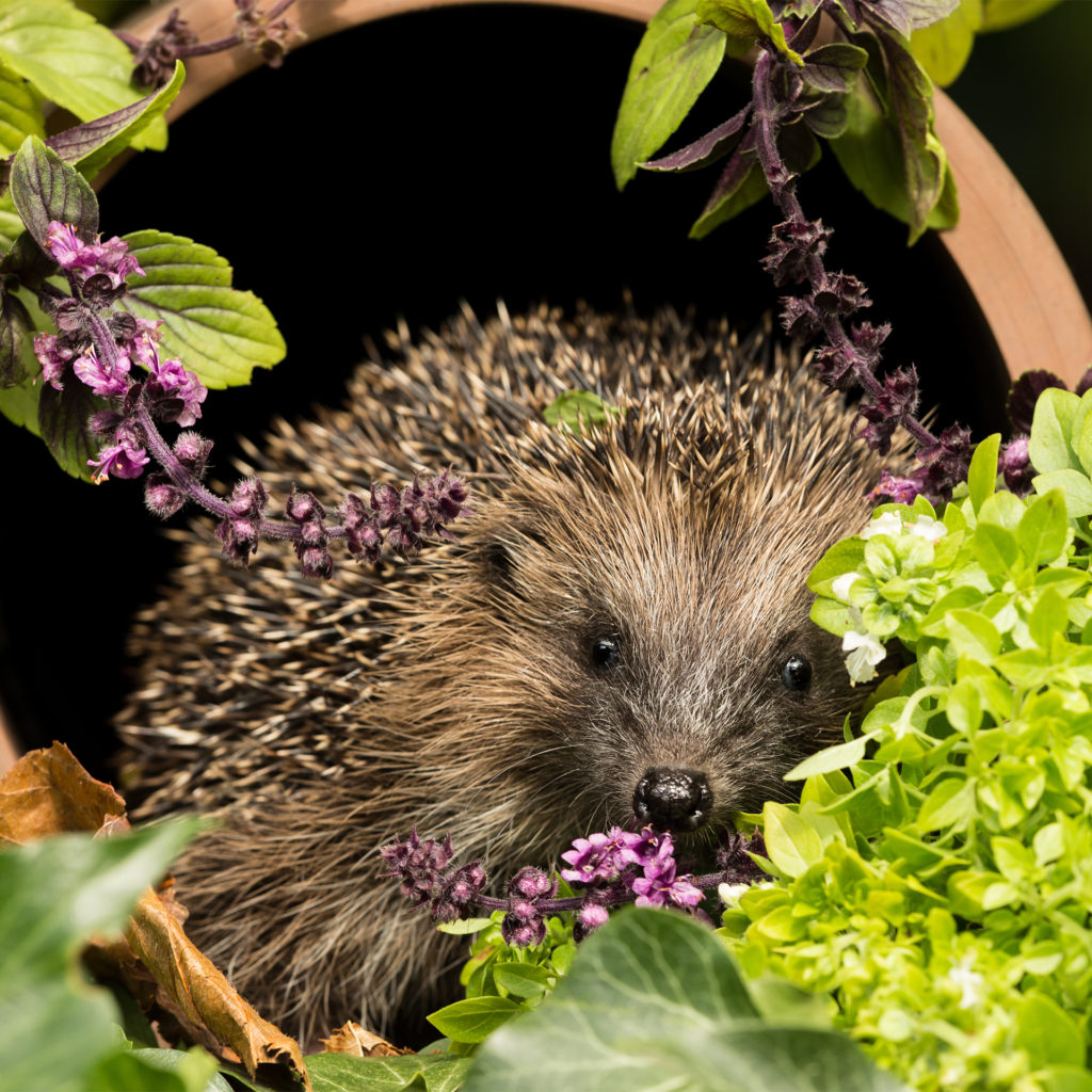 Hedgehog sitting in mouth of terracotta flower pot, surrounded by flowers