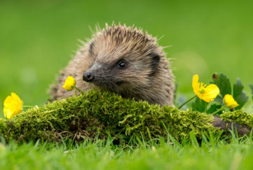 Hedgehog climbing on moss covered piece of wood, buttercups flowering