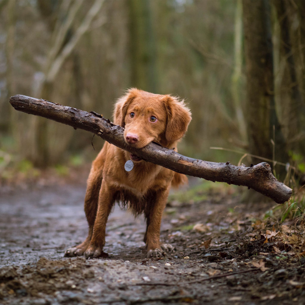 Pup with big stick, as featured image
