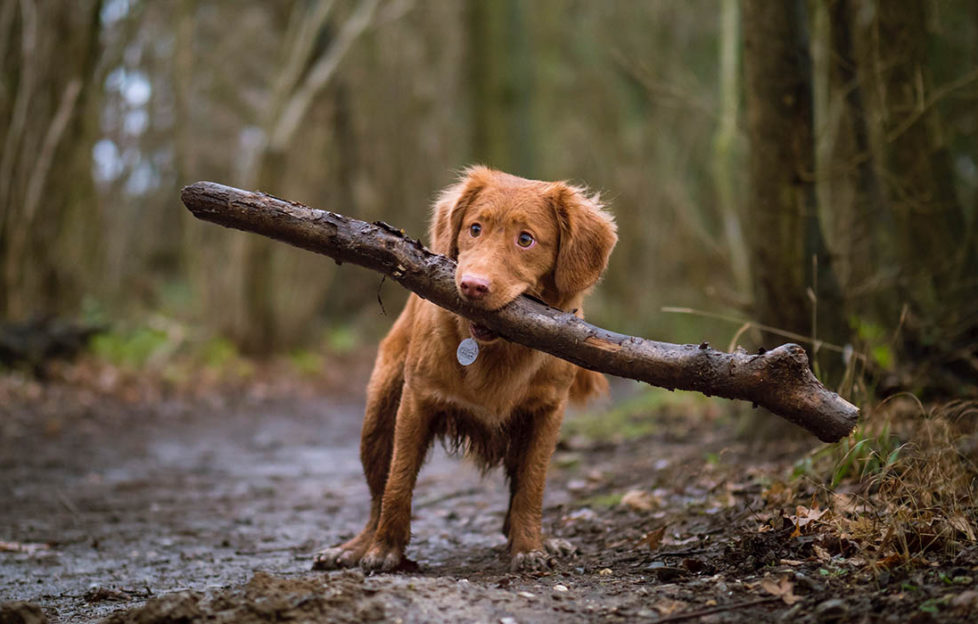 Adorable small tan puppy with floppy ears on forest path struggling to hold large stick