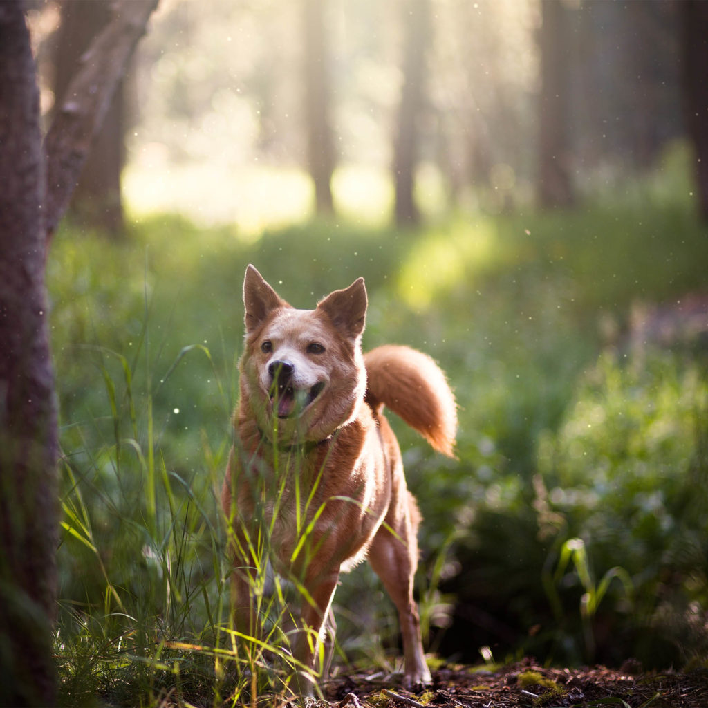 Happy bushy-tailed dog looking around in sunny pine wood