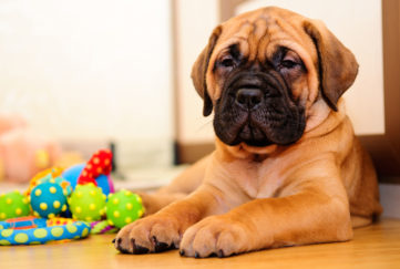 Bull mastiff puppy indoors with chewing toy
