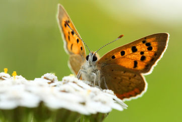 Small copper butterfly with orange and black patterned wings, feeding on a white yarrow flower
