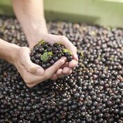 Person's hands scooping up blackcurrants from a large trailerful of blackcurrants