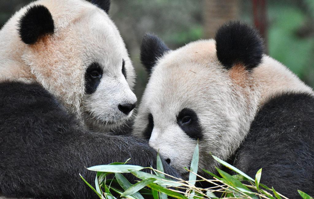 Panda pair in zoo Pic: Shutterstock
