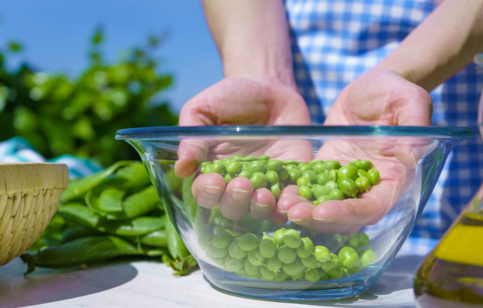 Woman's hands holding a handful of freshly picked peas inside a glass bowl outdoors in the rays of the sun;