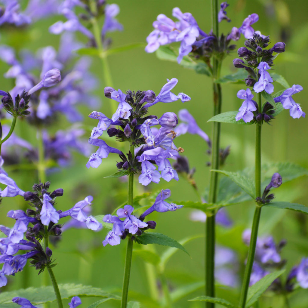 Purple wild flowers, skullcap, herb
