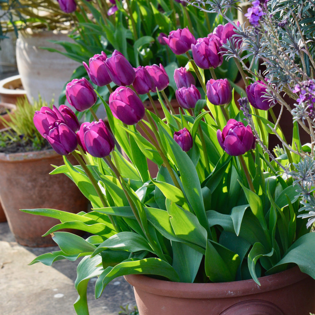 Sun shining through purple tulips in a terracotta pot