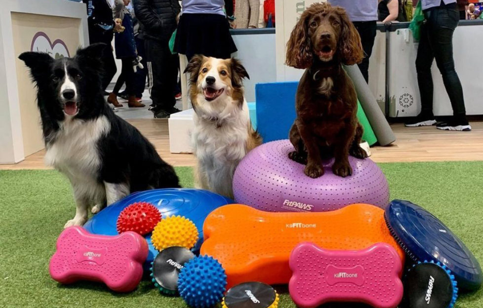 Three alert dogs, a cocker spaniel and 2 border collies, sitting on and behind a pile of large rubber dog toys and cushions