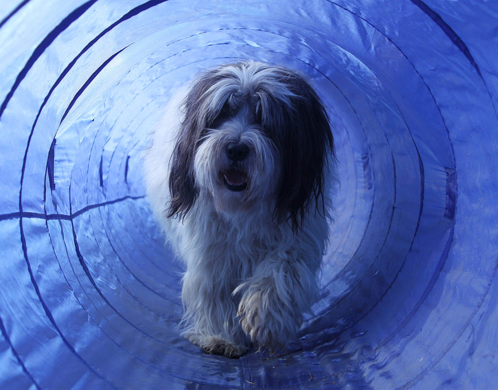 Long haired small dog trotting happily through a blue nylon and wire tunnel