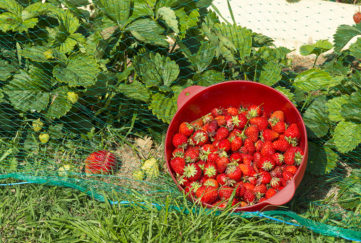 Strawberry plants under netting and basket of ripe strawberries in front