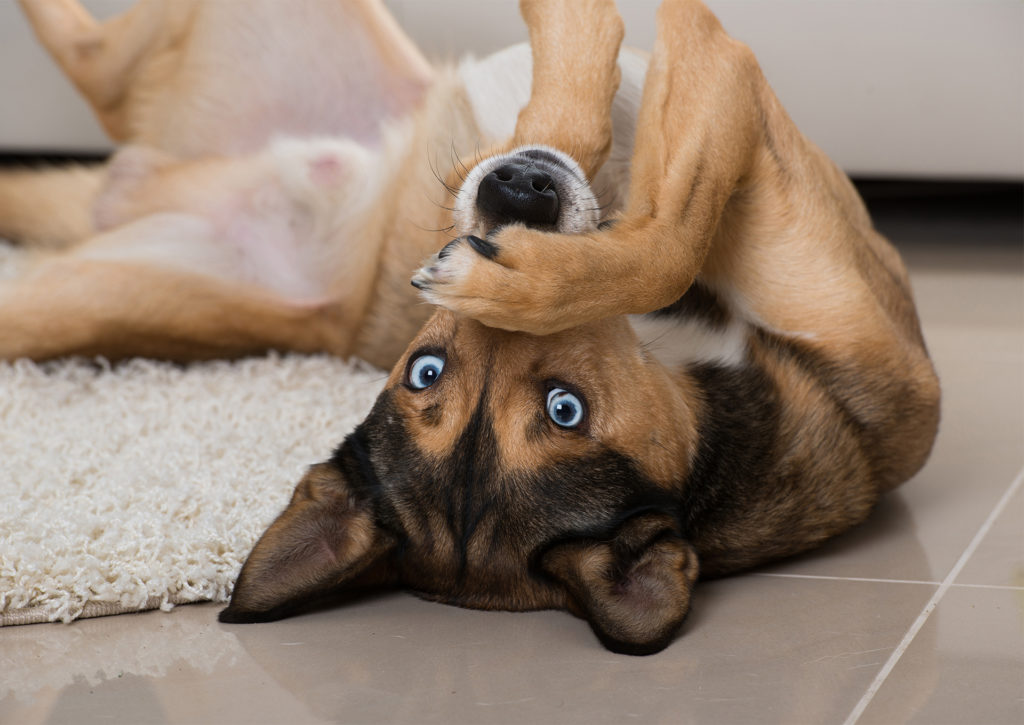 Long legged dog with blue eyes lies on his back, looking at camera, front paw over his nose, comical expression