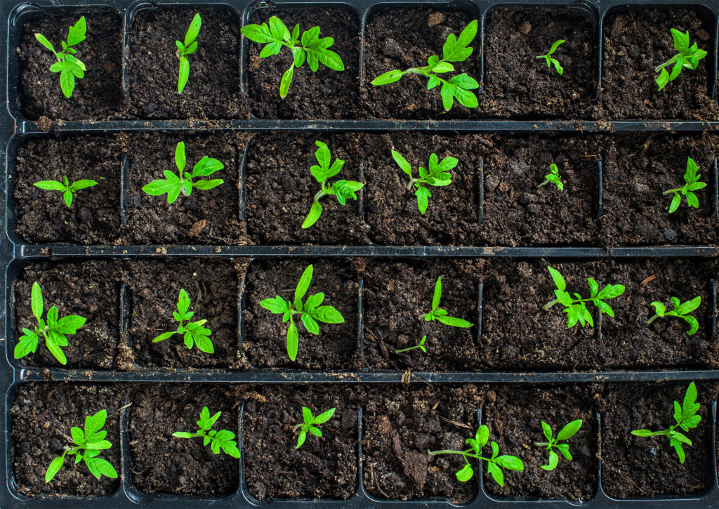 Top view of tomato seedlings in earth in a seed tray