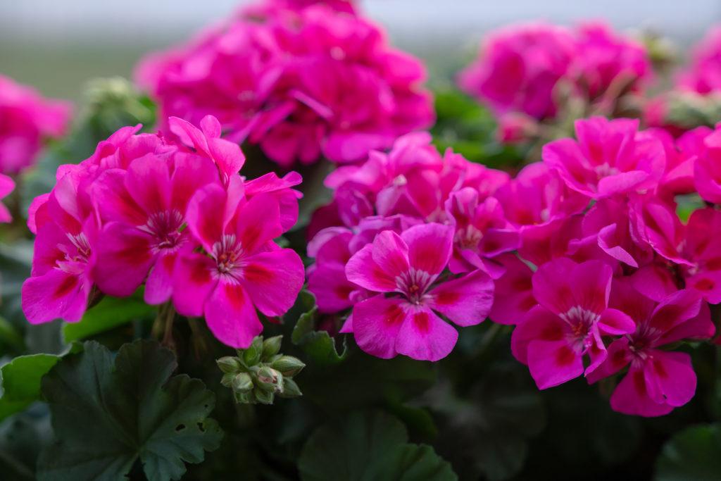 Pink geranium in garden;