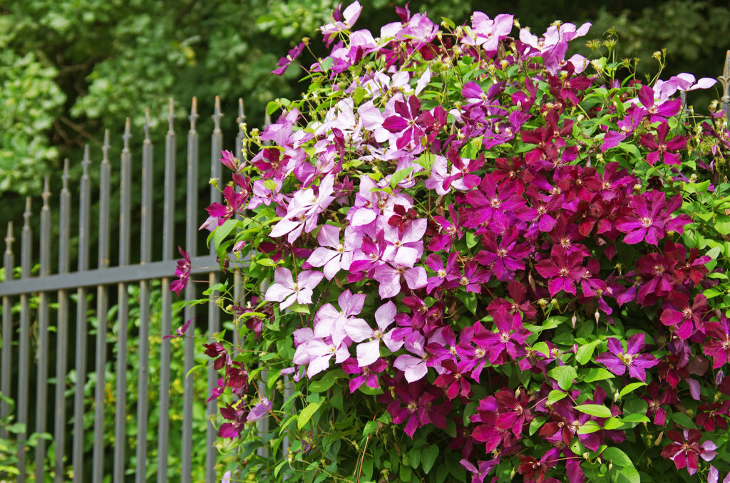 The clematis on the iron fence;