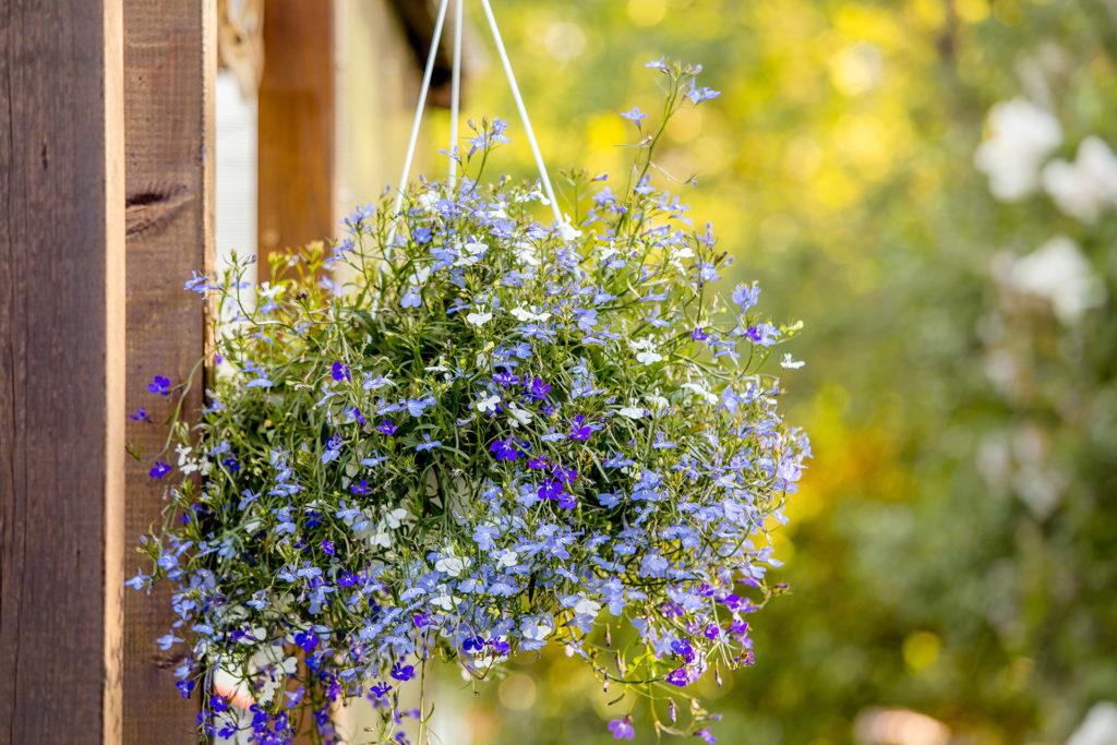 Lobelia erinus flower (edging lobelia, garden lobelia or trailing lobelia) hanging on iron wall hanging flower plant pot bracket outdoors in garden in beautiful sunny summer evening. ;