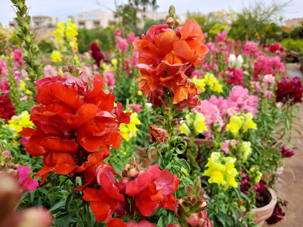 Beautiful garden flowers at sunny day, Snapdragon flowers blooming in garden, Colorful Snapdragons;