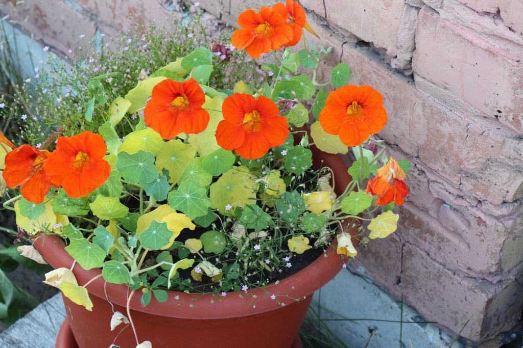Nasturtium plant growing in a pot. Nasturtium plant with orange flowers. Bright orange nasturtiums;